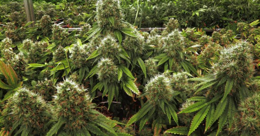 Cannabis Legale - Aumentano gli Store in Tutta Italia.
